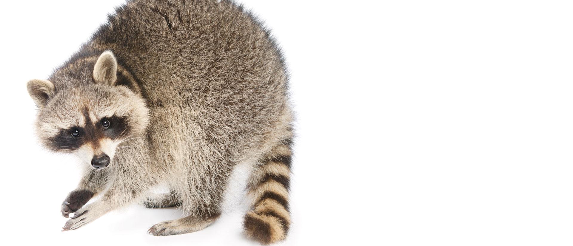 raccoon removal ottawa-gatineau