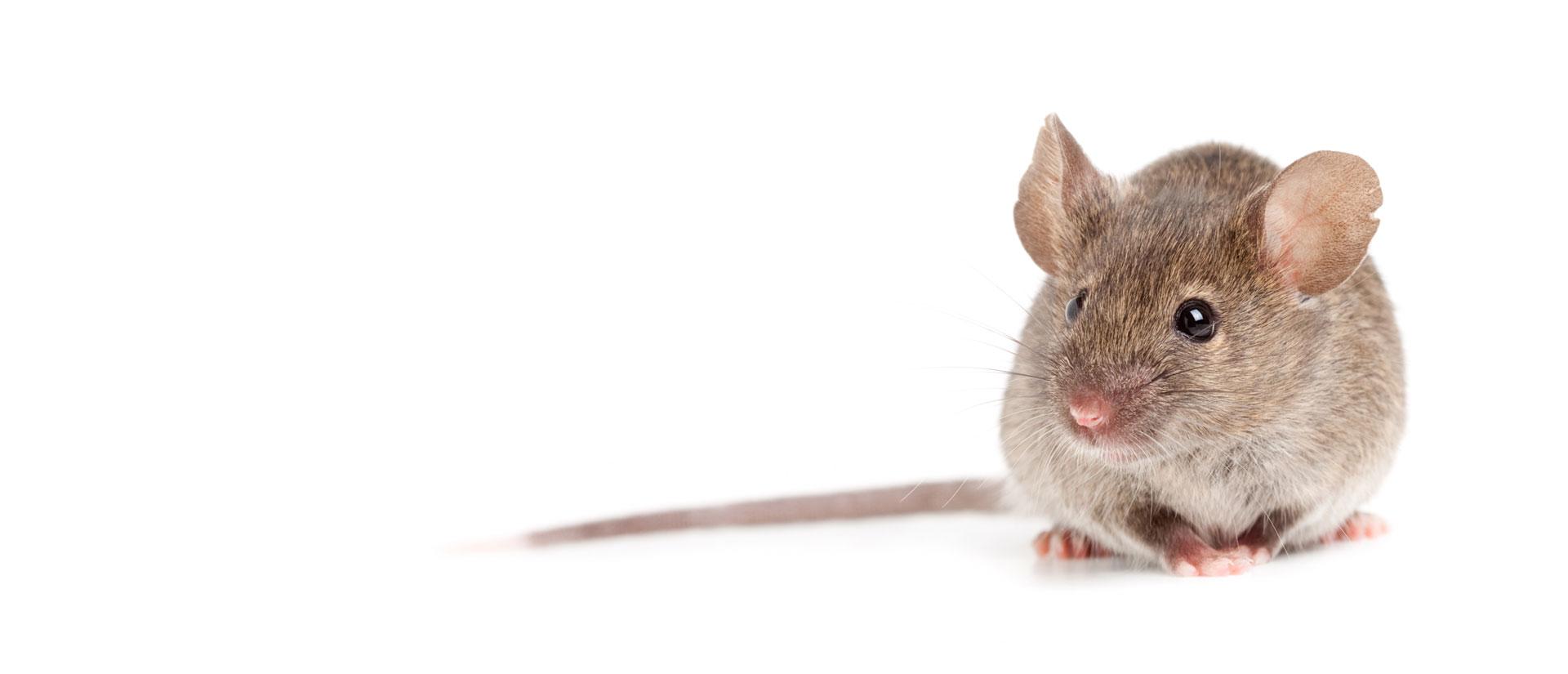Contrôle des souris Gatineau-Ottawa