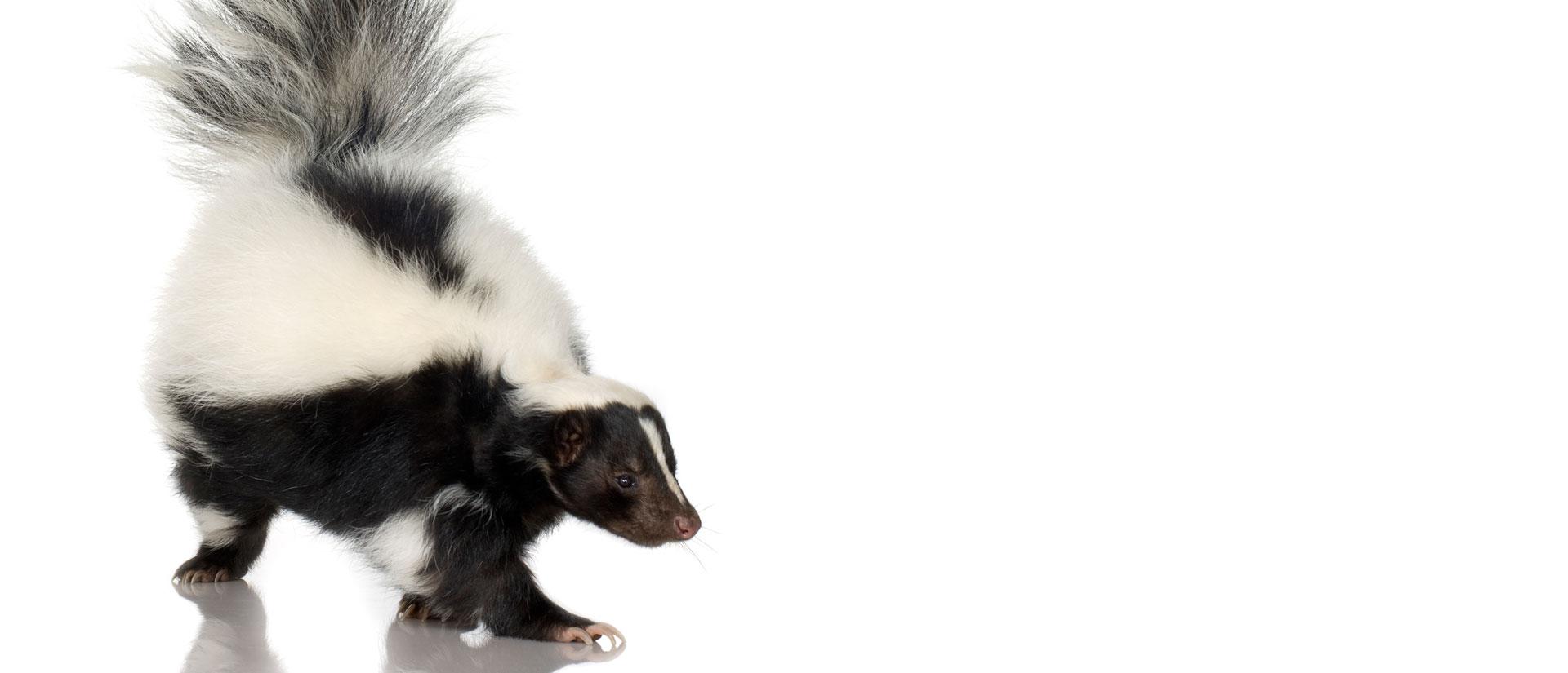 skunk removal ottawa- gatineau