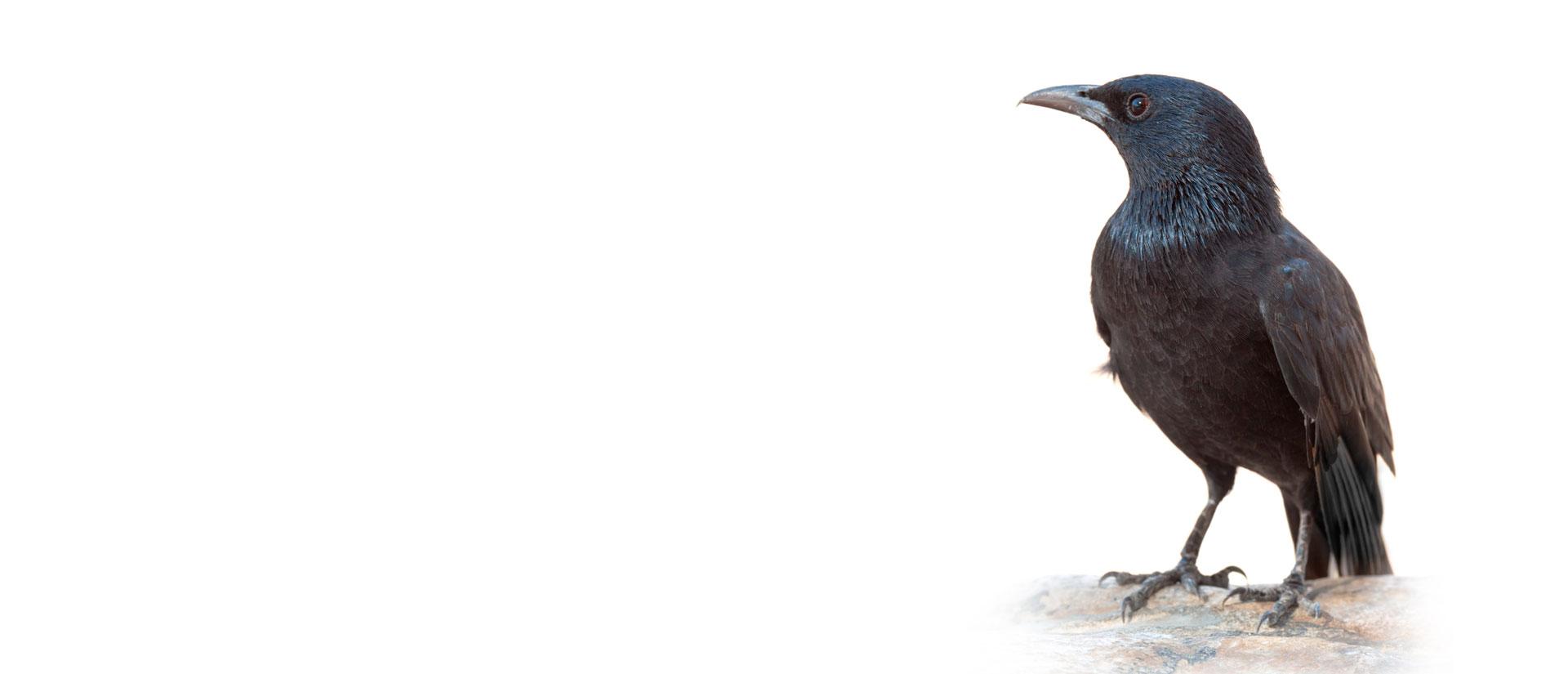 contrôle oiseau gatineau-ottawa