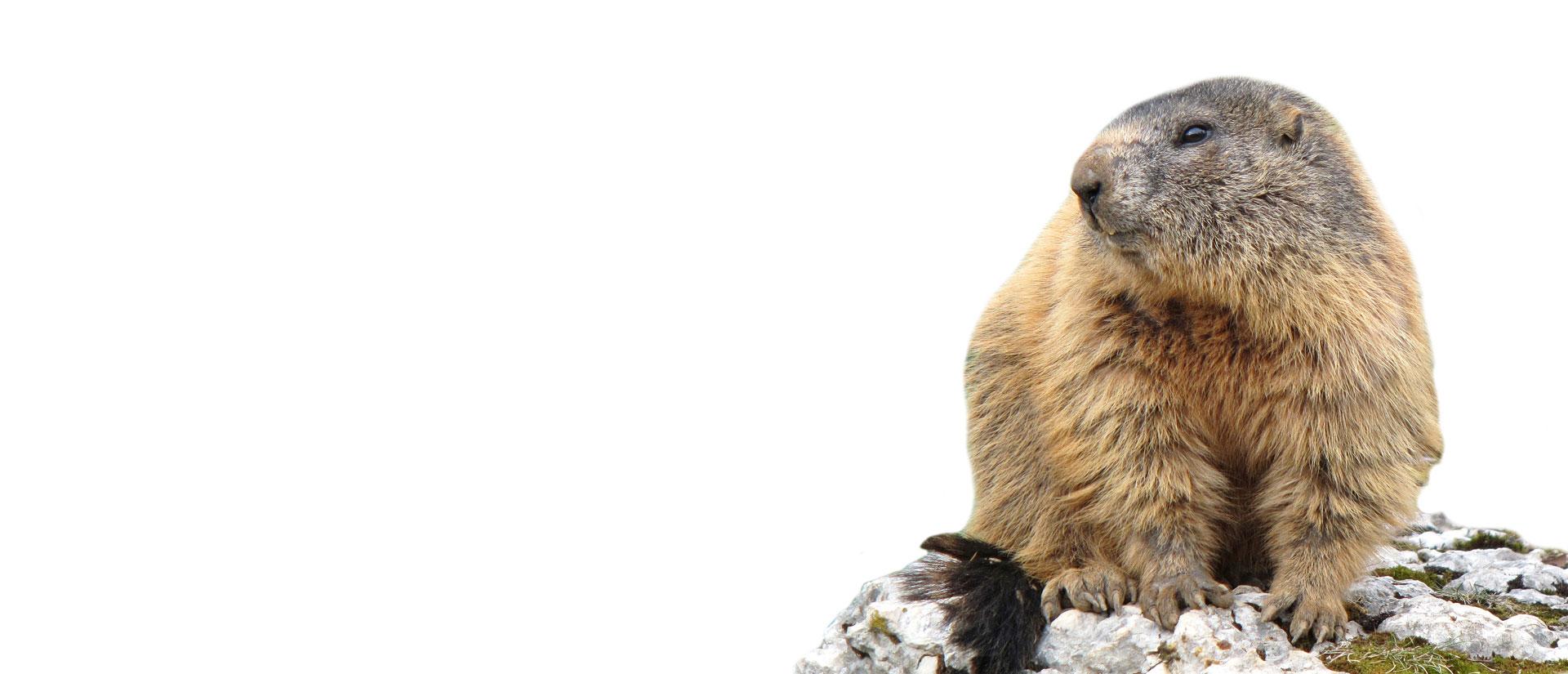 groundhog extermination ottawa-gatineau