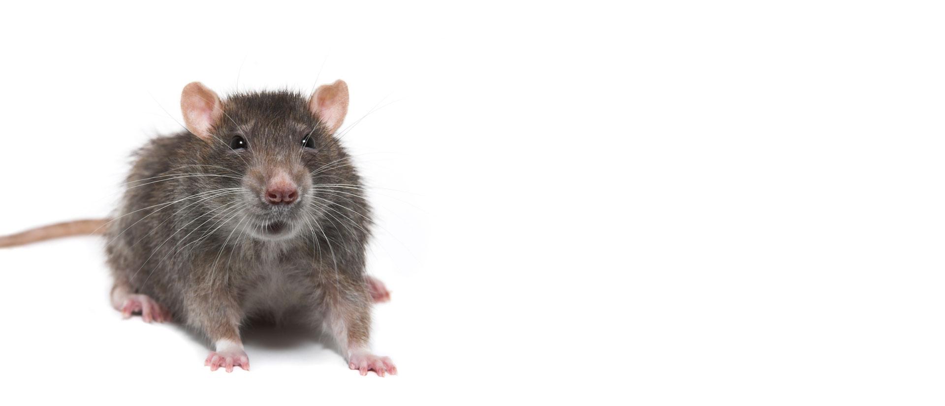 Contrôle des rats Gatineau-Ottawa